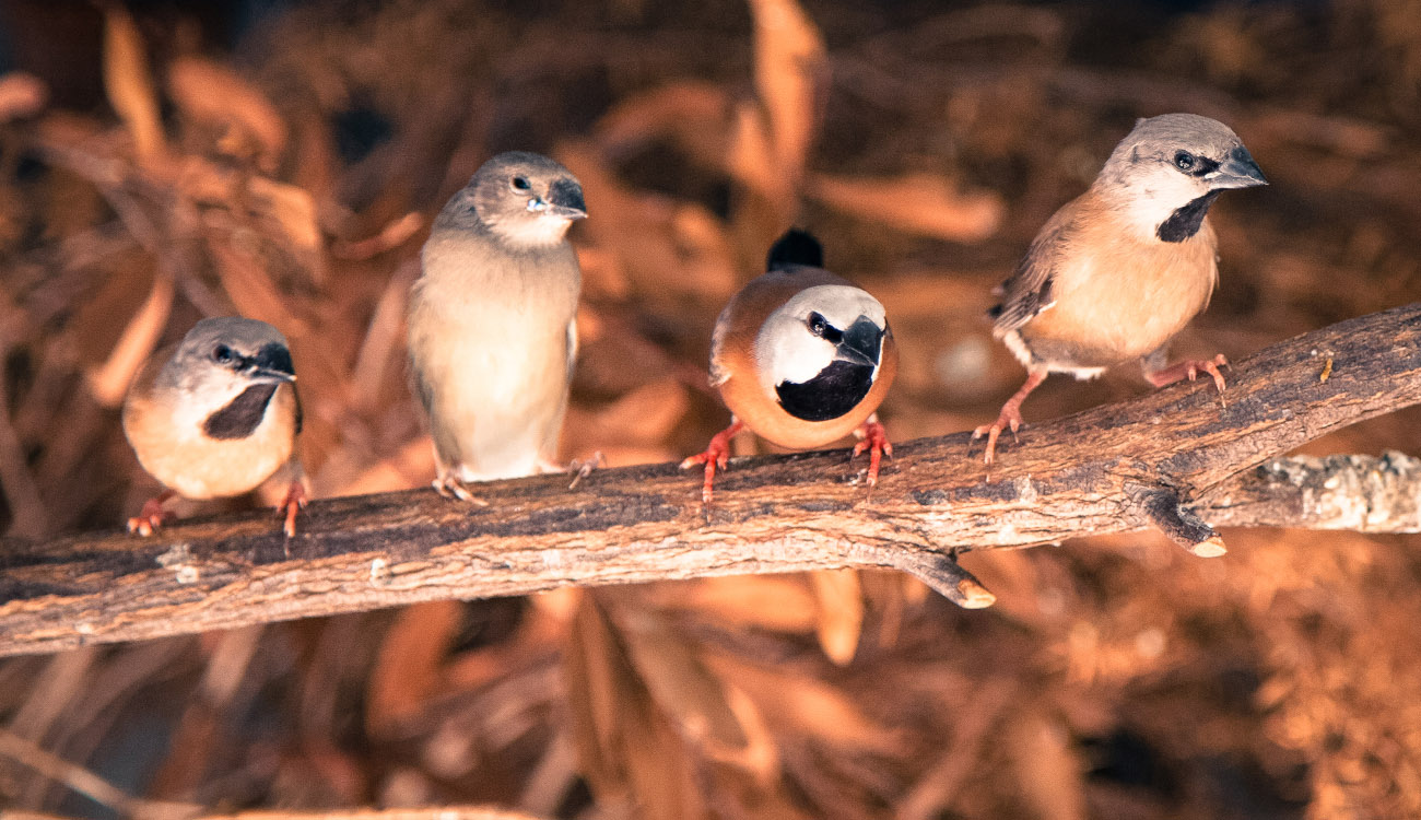Just 12% of black-throated finch habitat remains ...