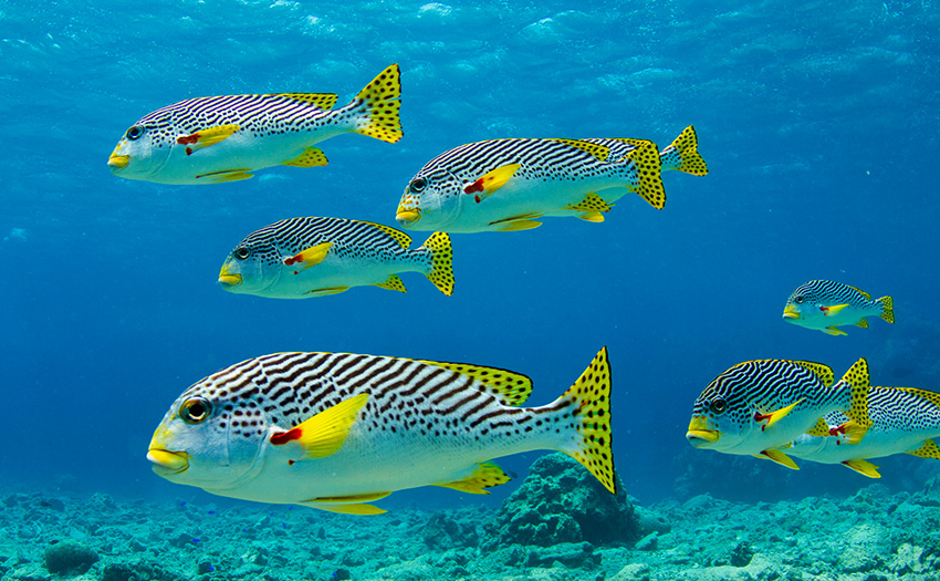 post_Photo_Tchami__Flickr_CC_Sweetlips_on_the_Great_Barrier_Reef.jpg