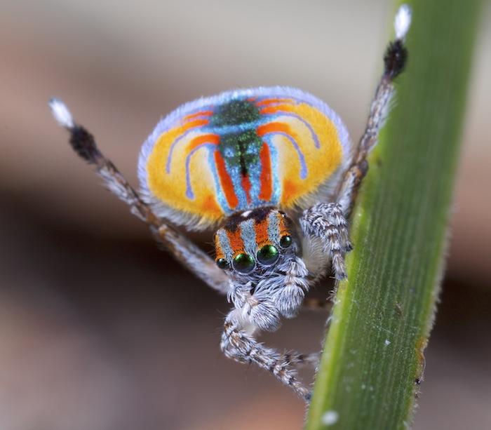 A male peacock spider (Maratus volans)