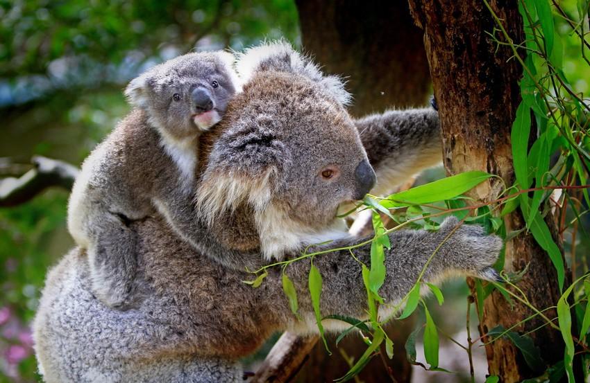 RS5948_koala-61189-scr.jpg