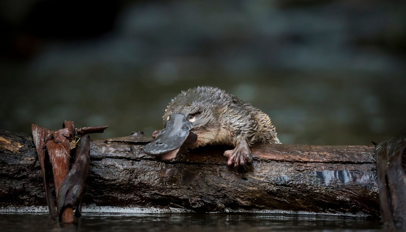 The government's new bill will push animals like the platypus closer to extinction