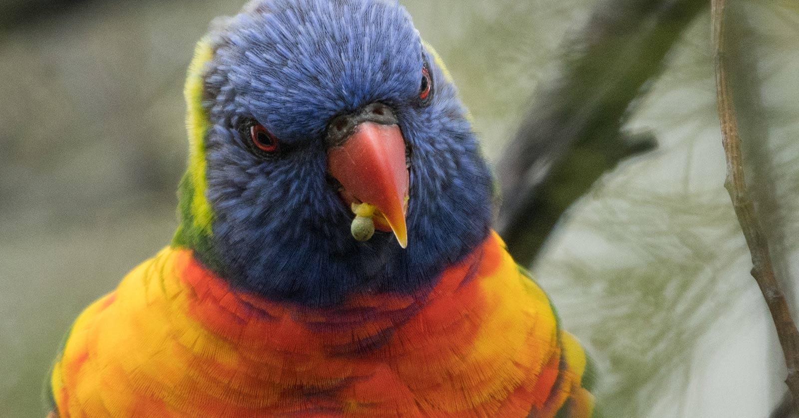 Rainbow Lorikeet animal rescue  [picture: Aaron Stevenson]