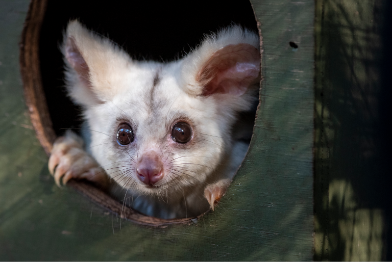 Greater glider baby