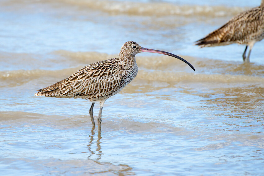 An Eastern curlew stands in brown water
