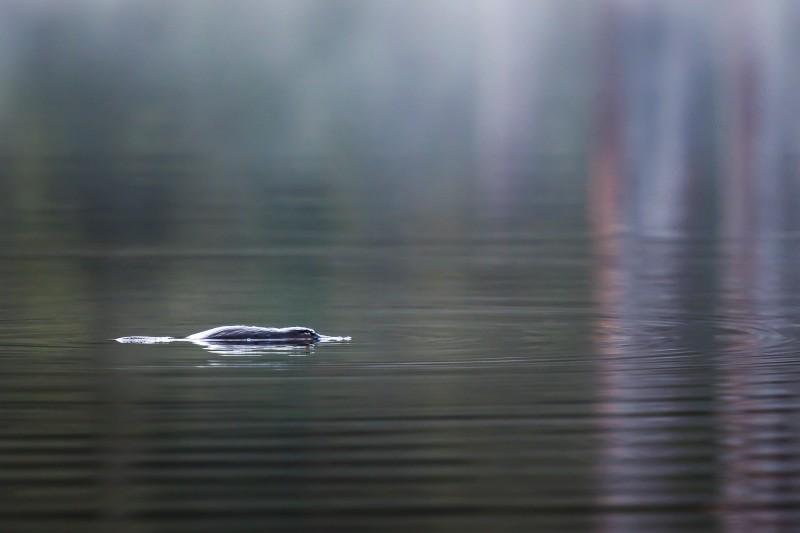 platypus swimming