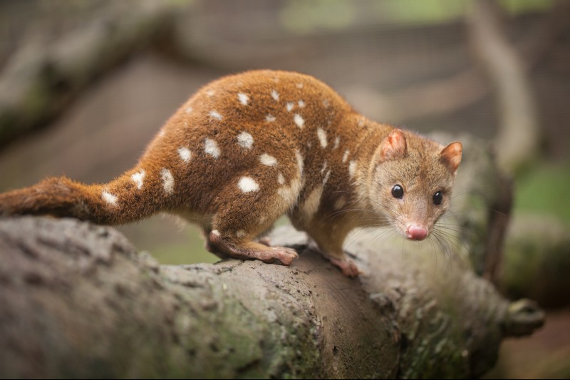 Spotted-tail_Quoll.jpg