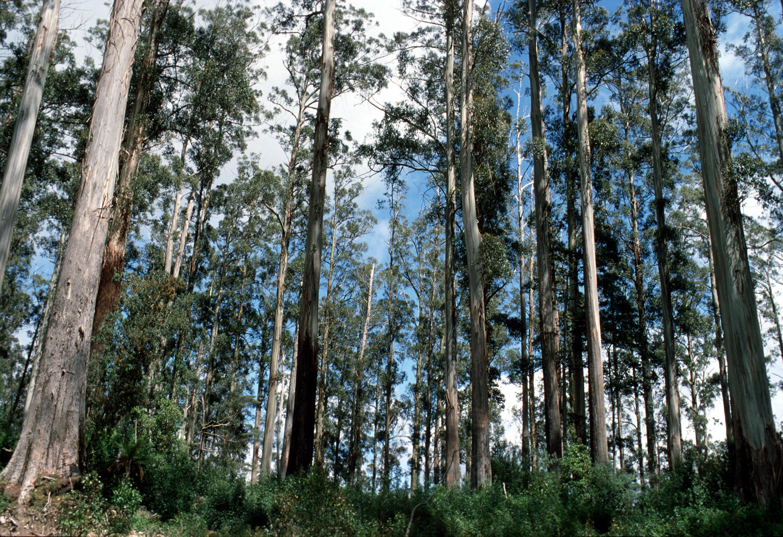 CSIRO_ScienceImage_75_Mountain_Ash_Eucalyptus_regnans_Magdena_Tasmania.jpg