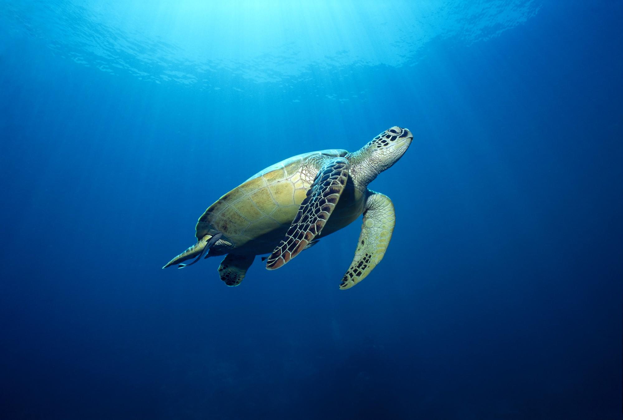 reef_Turtle-lpr.jpg