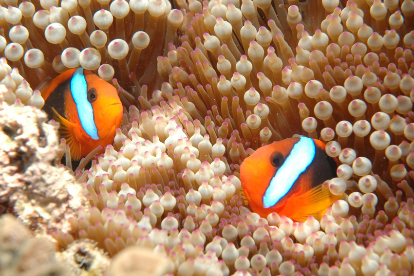 post_Win_Reef-Clownfish.jpg