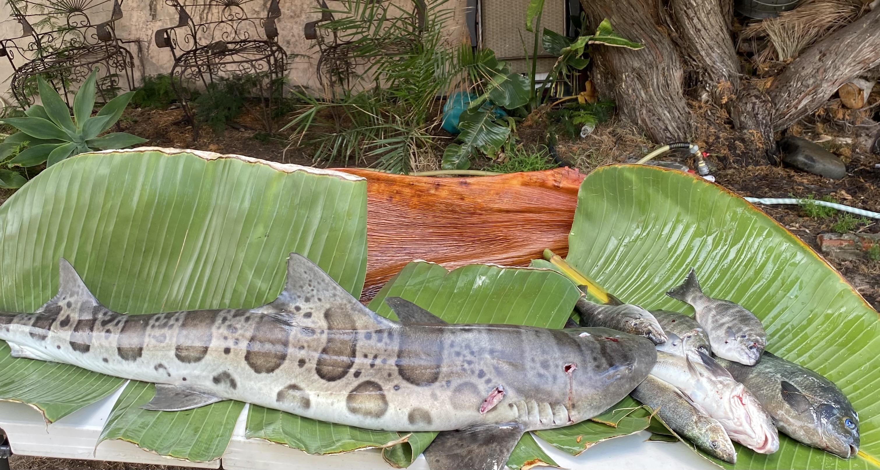 leopard shark tacos