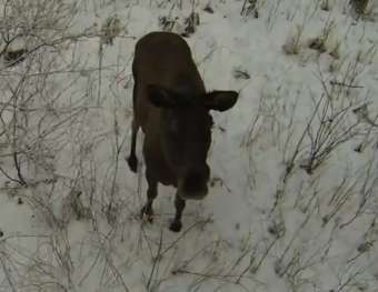 Moose_monitored_by_drone.jpg