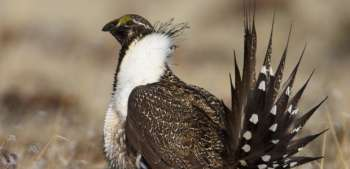 greatersagegrouse