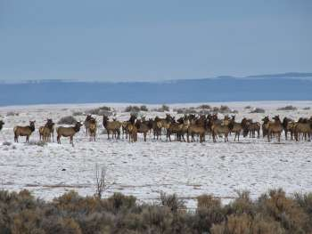 1-10-13 RGDNM BLM PHOTO ELK ON WINTER RANGE OF RIO GRANDE DEL NORTE NAT. MONUMENT TOAS PLATEAU