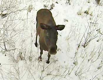 moose monitored by drone