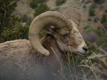 Bighorn Sheep browns