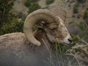 Bighorn Sheep Jamin Grigg