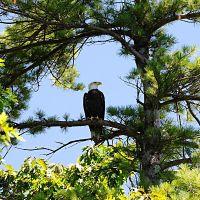 swan_island_eagle_mdifw_opt.jpg