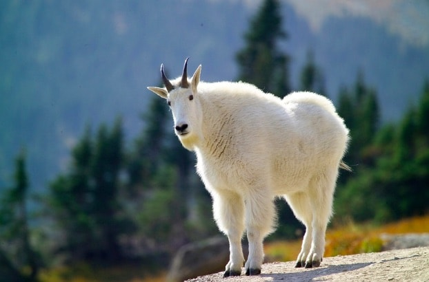 The Joy of Mountain Goat Viewing in the Uinta Mountains