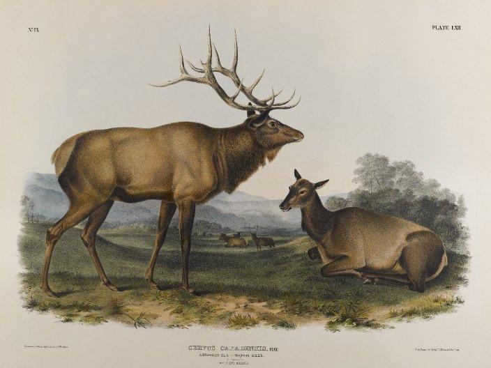 Brooklyn_Museum_-_American_Elk_-_John_J._Audubon.jpg