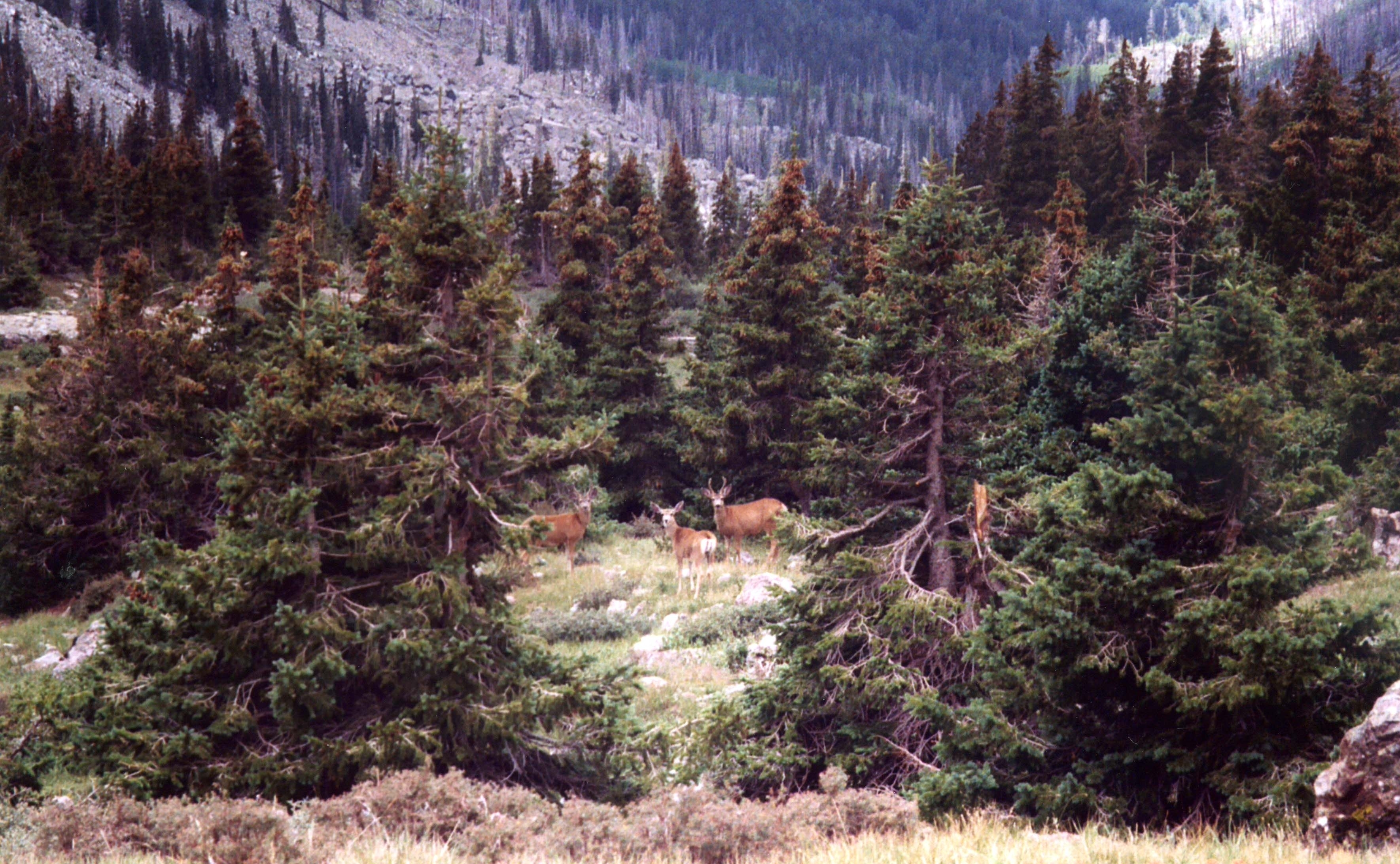 SangredeCristoWild-Deer-30Aug03.JPG