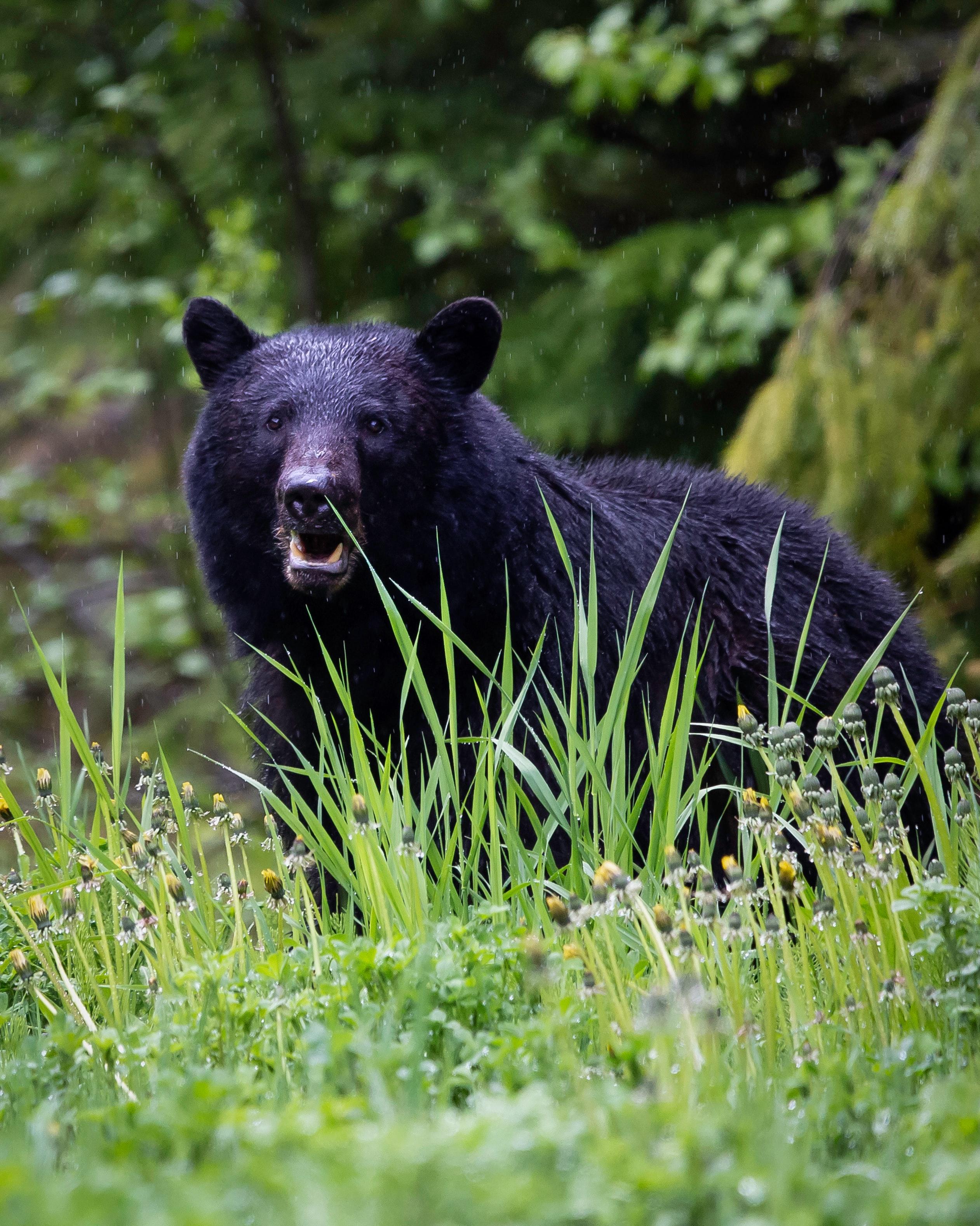 Black_Bear_22.jpeg