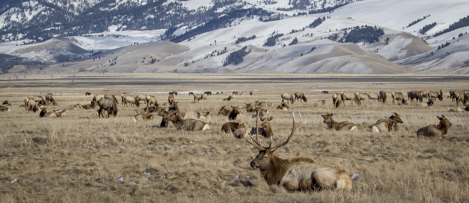 National Elk Refuge near Jackson Hole.istock.com/ SBTheGreenMan