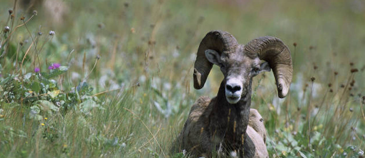 Bighorn Sheep Maps and Data
