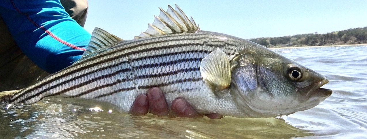 Protect the Striper Fishery