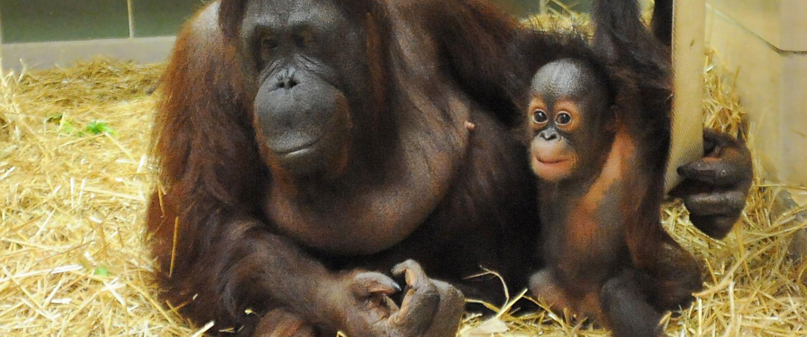 HT_orangutan_zoo_2_sk_140722_12x5_1600.jpg
