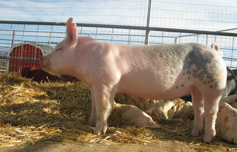 Sassy Miss Piggie