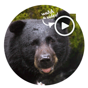 Gettoknowbears-Baloo.png