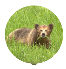 grizz-in-sedge-thumbnail.png