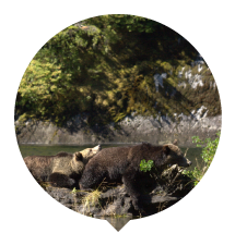 two-grizzlies-lounging-thumbnail.png