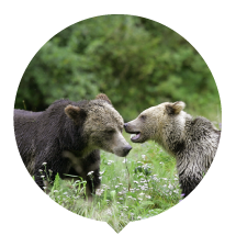 two-grizzlies-talking-thumbnail.png