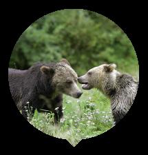two-grizzlies-talking-thumbnail.png