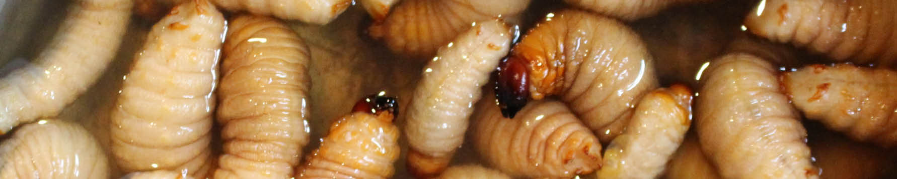 Why should I eat insects?