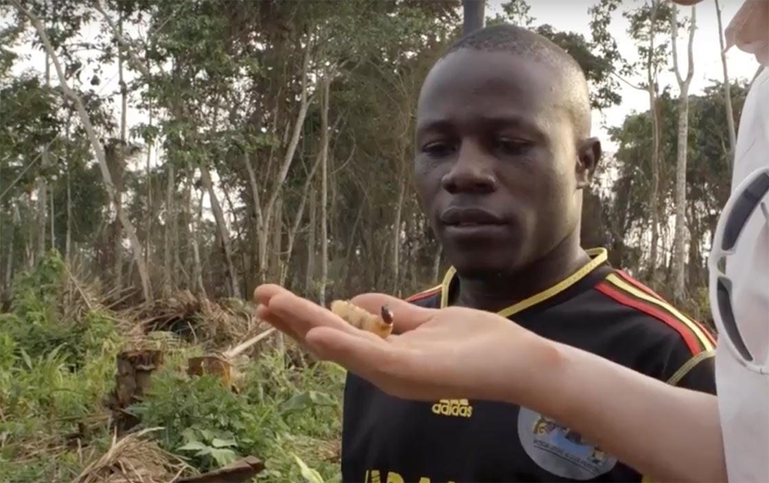 Gathering palm weevil larvae in Uganda
