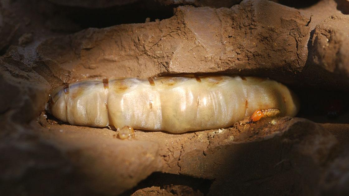 termite_queen.jpg