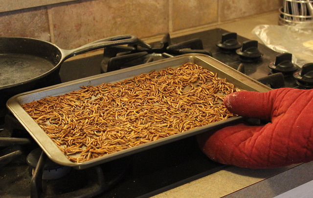 Roasted mealworms straight from the oven
