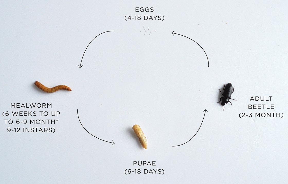 mealworm_LIFESTAGES4(c)Livinfarms.jpg