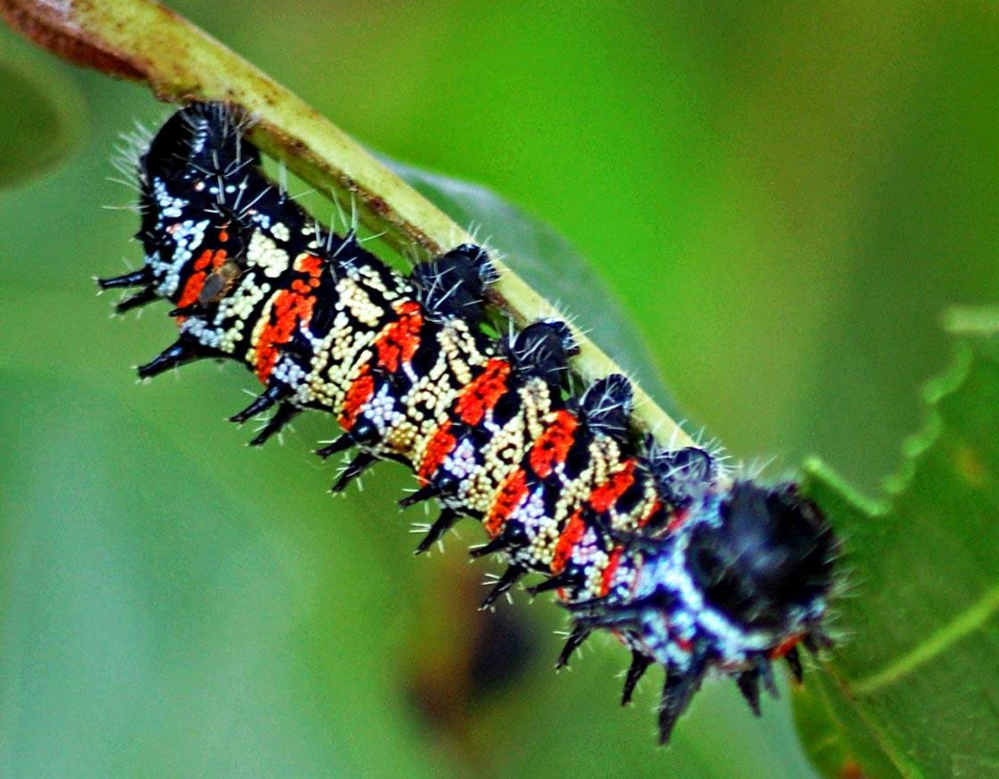 mopane_caterpillar.jpg