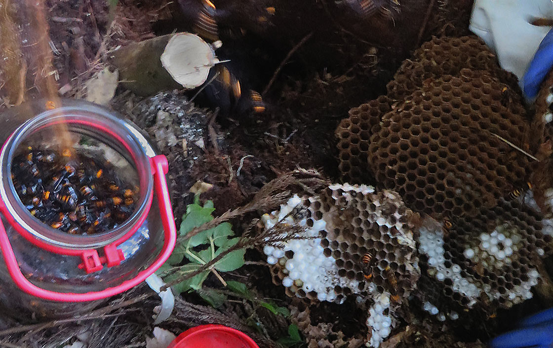 My First Hornet Hunt (2): From hive to plate
