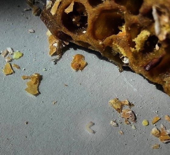 tiny_waxworm.jpg