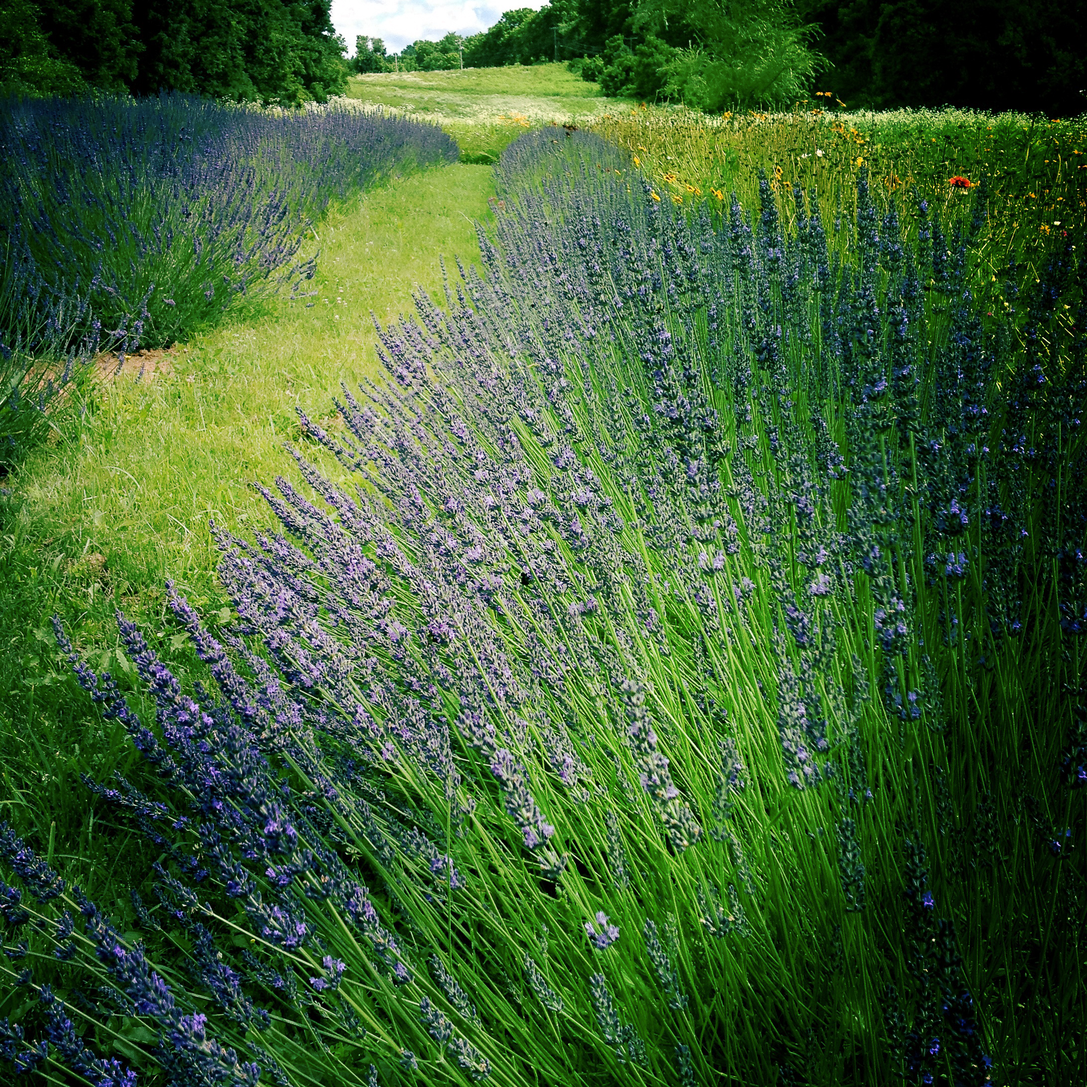 Lavender_Farmette.jpg
