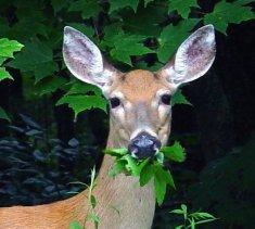 Deer_in_Garden.jpg