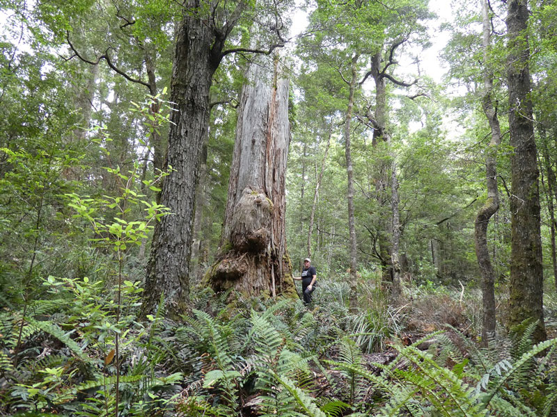 FR041B---Tarkine-forests-by-Colette-Harmsen-small.jpg