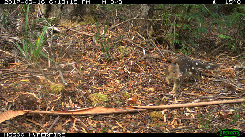 Spotted-Tailed-Quoll-2---Bob-Brown-Foundation-small.jpg