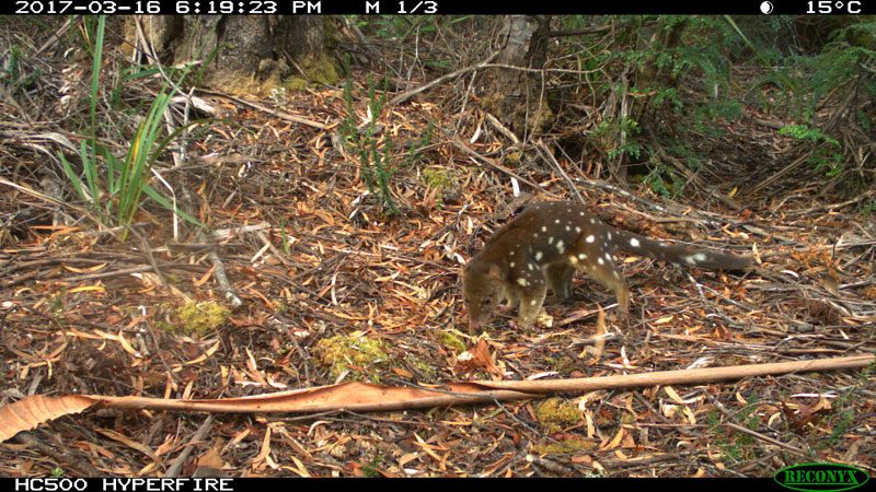 Spotted-Tailed-Quoll-3---Bob-Brown-Foundation-small.jpg