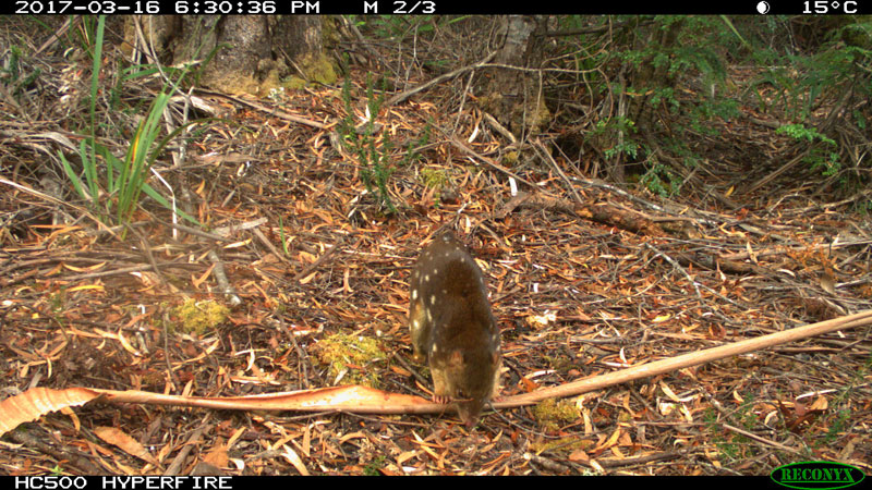 Spotted-Tailed-Quoll---Bob-Brown-Foundation-small.jpg