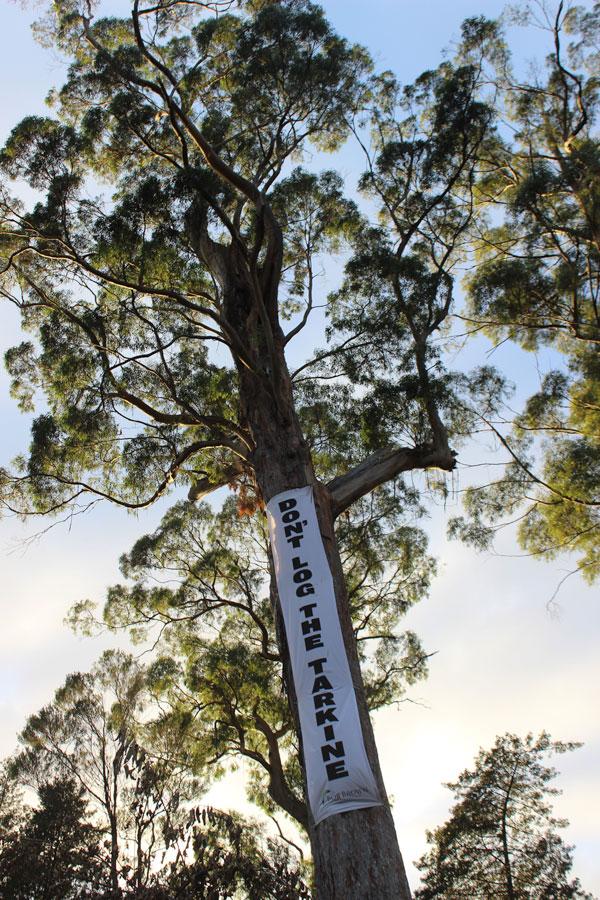 TiM-Frankland-River-Camp_Tree-Sit-Tree_Sue-Hayes--April-2017-small.jpg